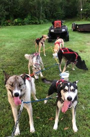Some of Darcy Stanley-Nord's sled dogs are ready to train. She starts training once temperatures are below 60 degrees.