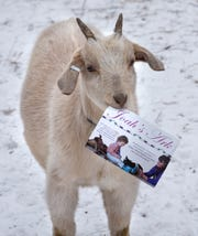 One of Joah's Ark owner Jo Olson's goats chews on a promotional flyer for the business Wednesday, Dec. 5, at her farm near St. Augusta.
