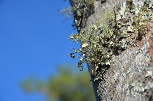 Lichens Td 11 30 18