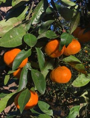 A Satsuma tangerine tree delivers a bounty of sweet treats every December.
