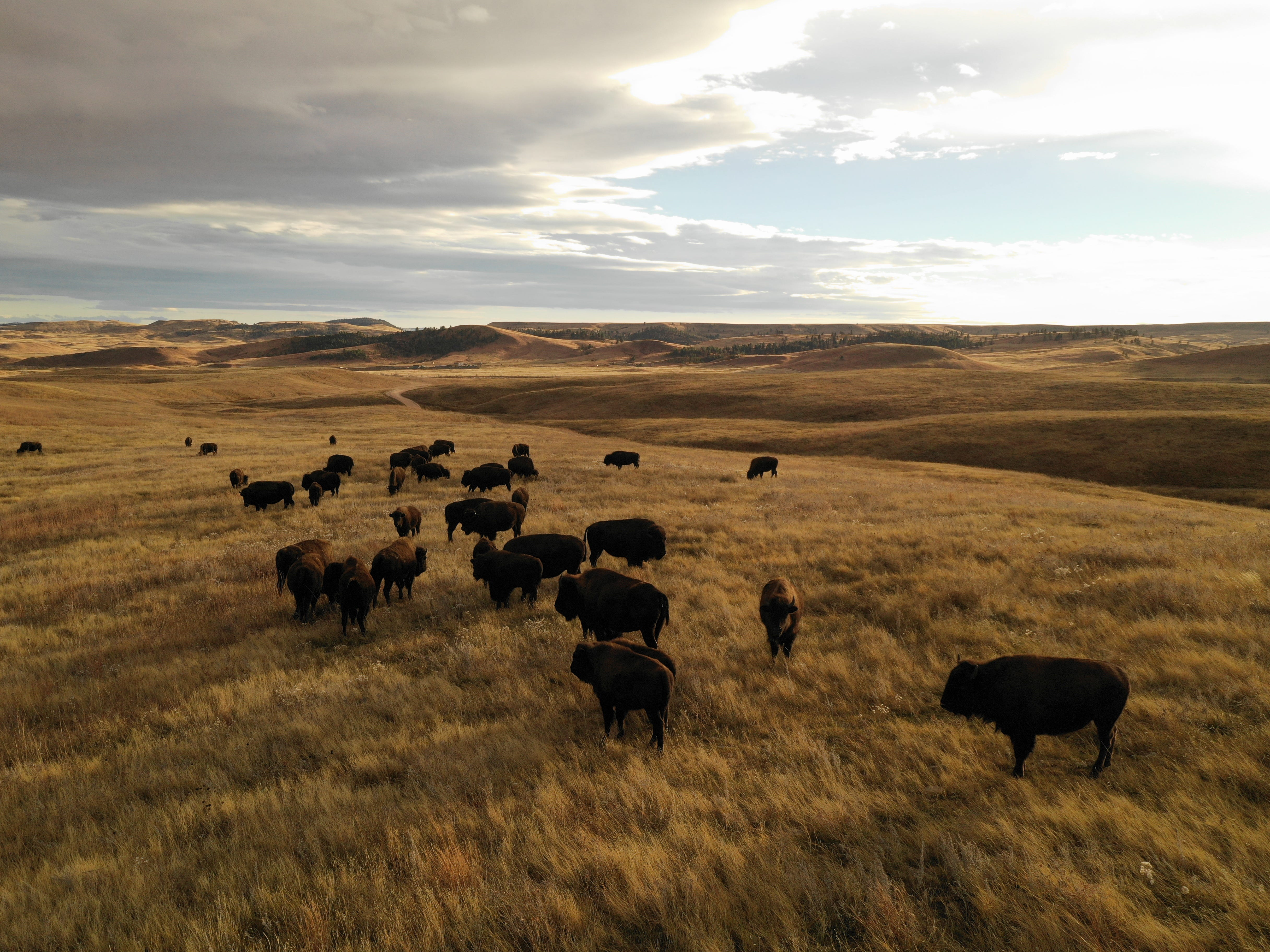 Custer State Park: Oh give me a home where the buffalo roam ...