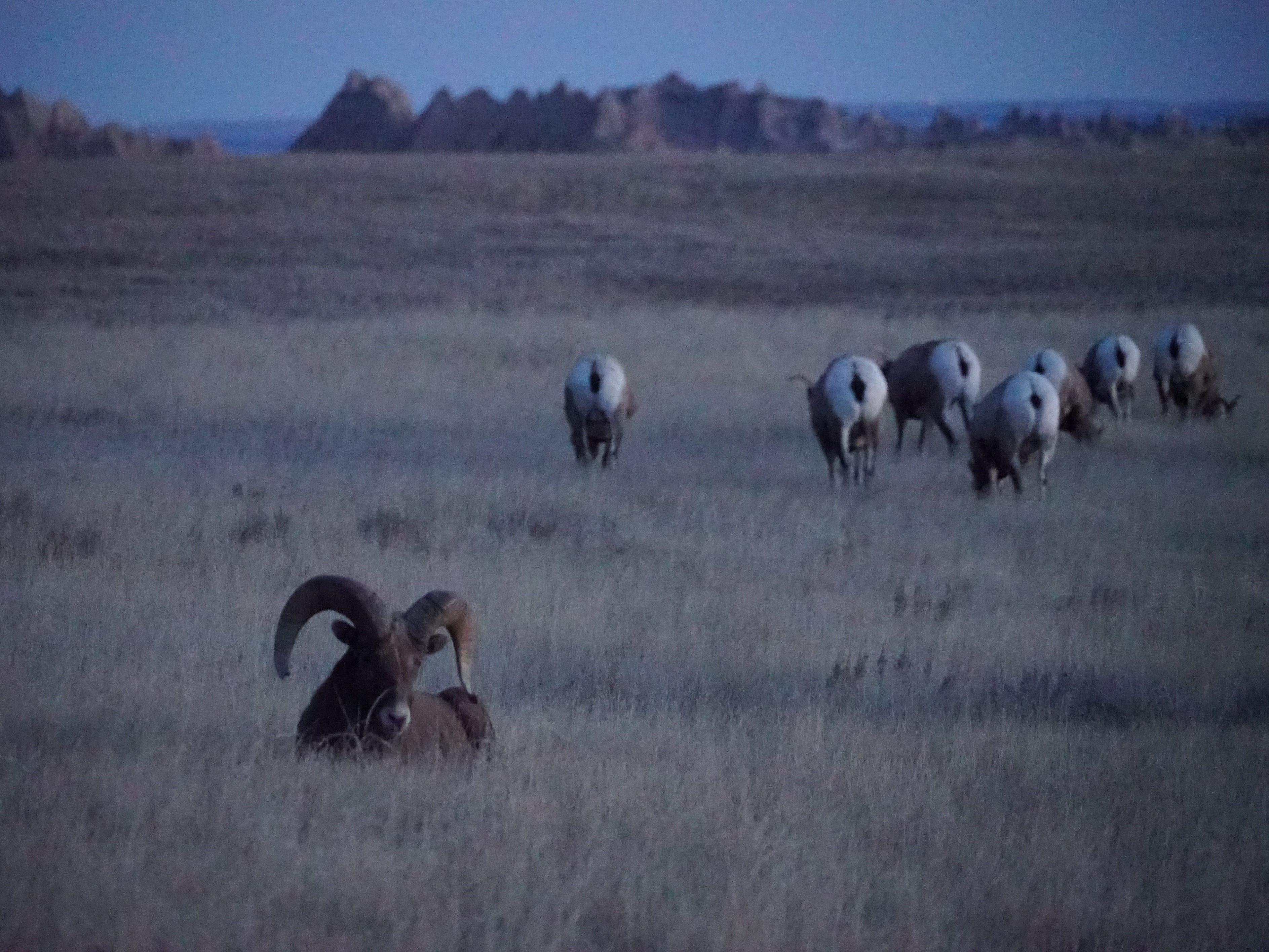 Bighorn sheep roam free in Badlands National Park.