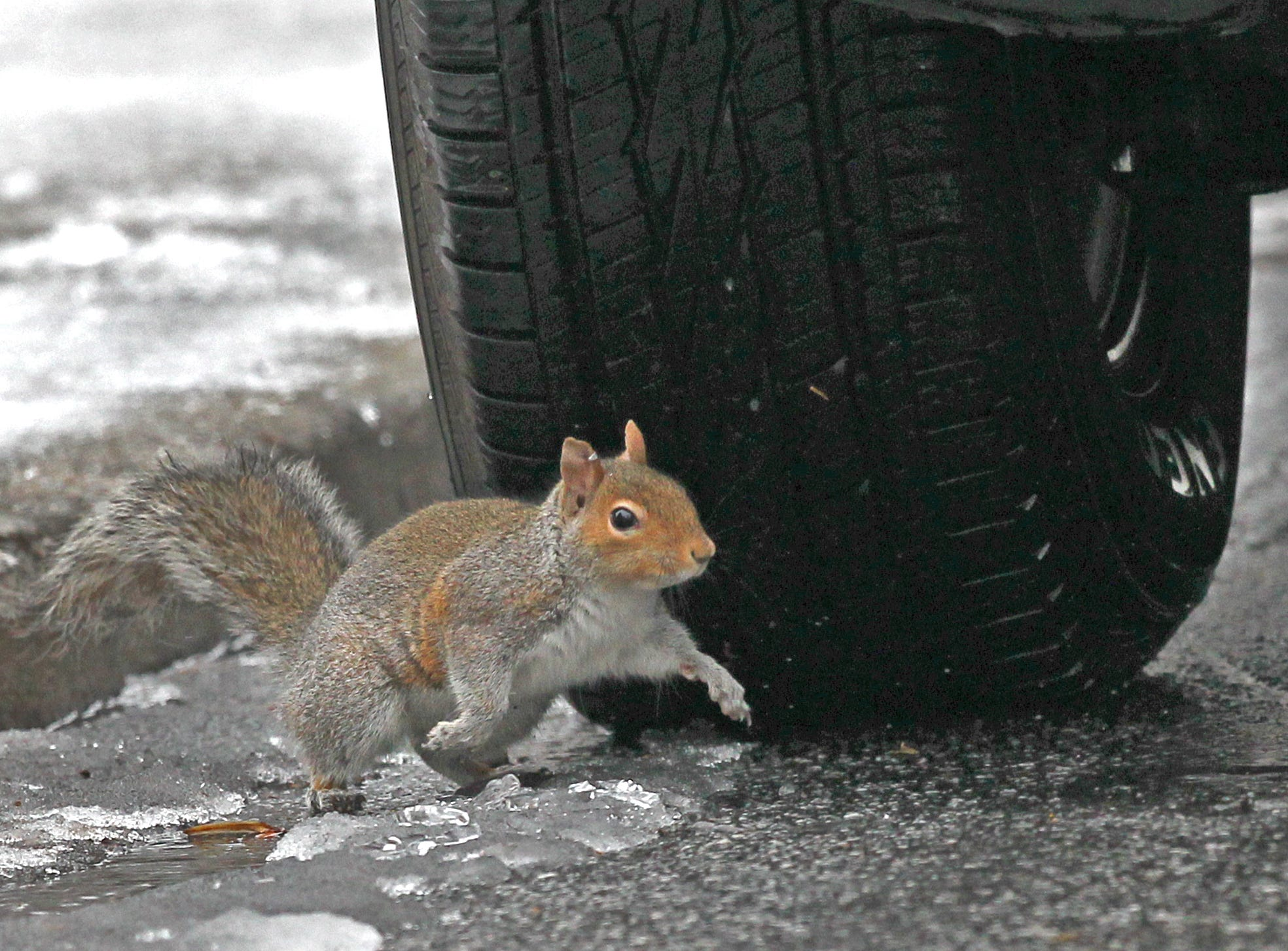 A squirrel runs around a parked car tire and melting snow near Tillman Hall at Clemson University in 2015.