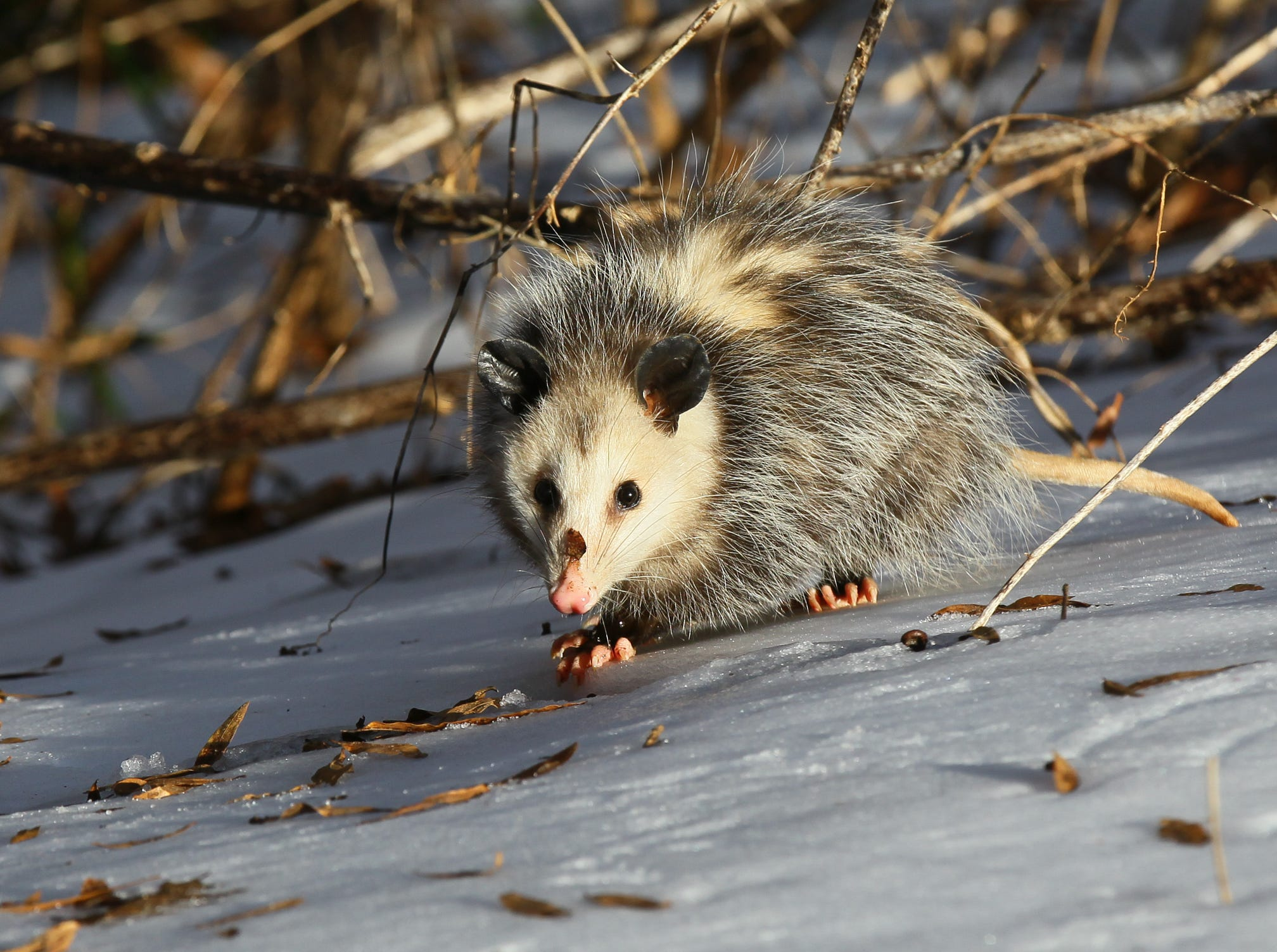 A possum walks over the iced snow at a rest stop on I-85 in Anderson County in 2014.