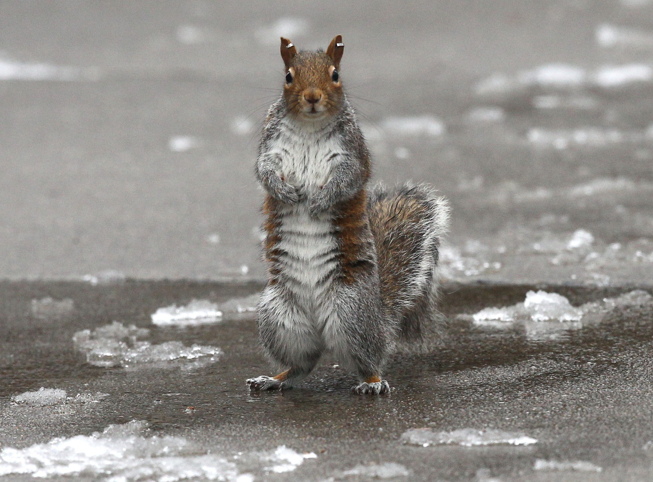 A squirrel with tags in the ears stands up near melting snow at Clemson University in 2015.