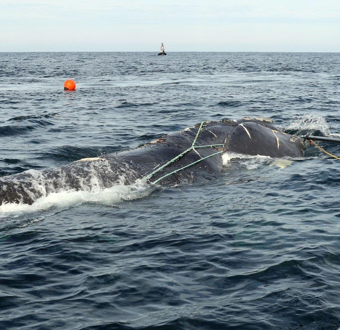 76 whales were snarled, 6 died in 2017: report