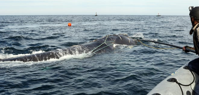 Entanglement responders from Georgia Department of Natural Resources  work to remove gear from an entangled North Atlantic right whale on Jan. 5, 2017.