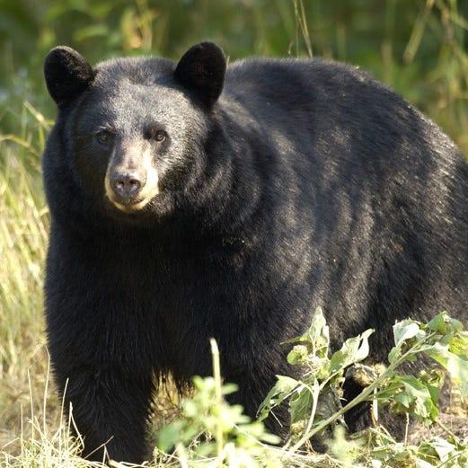 Michigan officials hope to rescue, relocate three-legged bear in U.P.