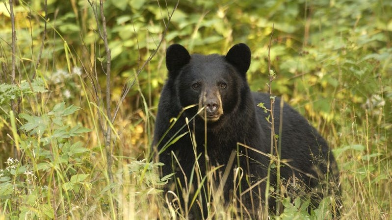 Black bears are native to Michigan, and their population in the state has been steadily increasing since the 1990s, with current estimated numbers of adults at over 12,000.