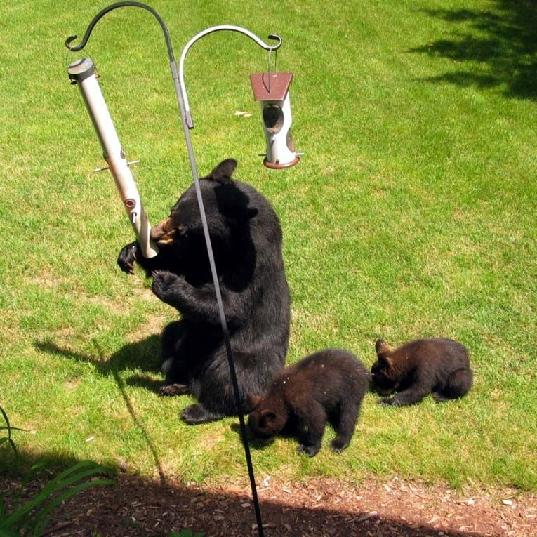 Black bears hungry from hibernation seek food like bird feeders, Michigan DNR warns