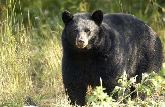 Michigan has a Black Bear Management Plan, which uses science-based methods to maintain a sustainable bear population and minimize bear-related conflicts.