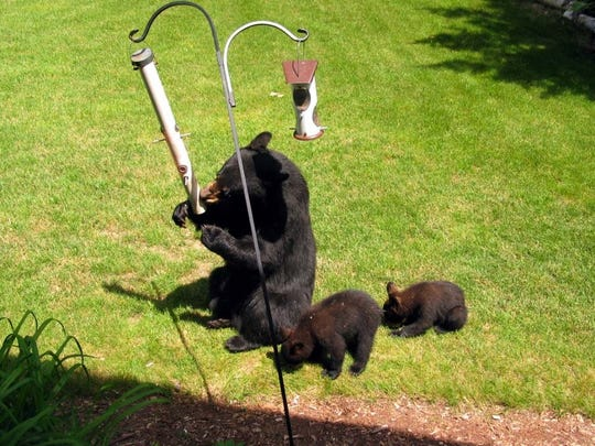 Black bears can make just about any part of the state their home, with a range that encompasses the entire Upper Peninsula and the northern half of the Lower Peninsula.