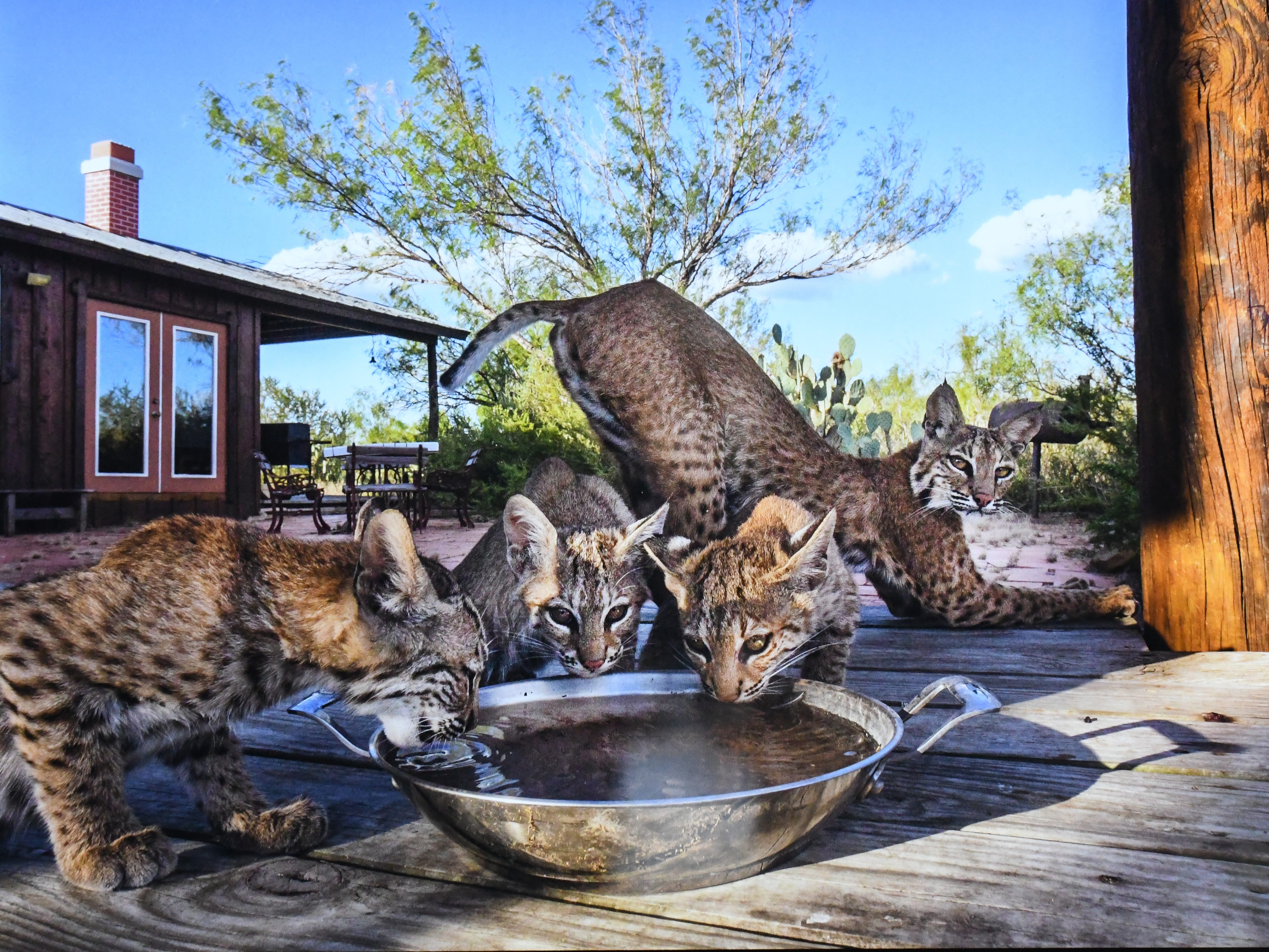 """Home on the Range"" by Karine Aigner of the United States shows a bobcat who raised her kittens beneath the decking of a remote ranch house over several months."