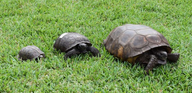 From left, a box turtle, an average-sized gopher tortoise and the huge tortoise that was brought to CROW recently.