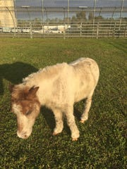 The miniature horse found wandering alone in Lee County on Thanksgiving will be auctioned off if unclaimed by Friday.