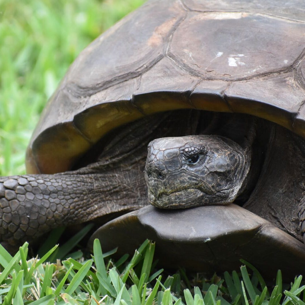 Sanibel wildlife hospital home to largest gopher tortoise on record in Florida