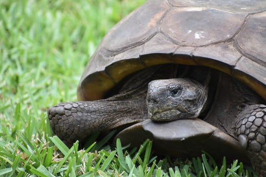 The largest gopher tortoise on record rests on the lawn at the Center for the Rehabilitation of Wildlife on Sanibel.