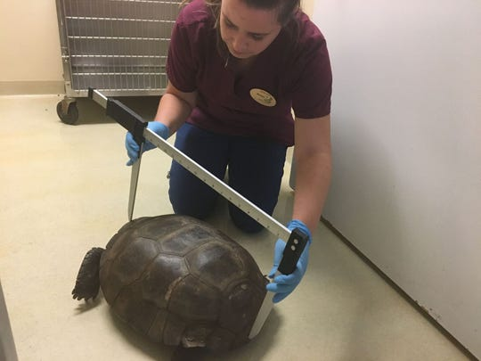Amber Strassler, a wildlife rehabilitator, measures the length of the shell of the largest gopher tortoise on record. It's living at the Center for the Rehabilitation of Wildlife on Sanibel.