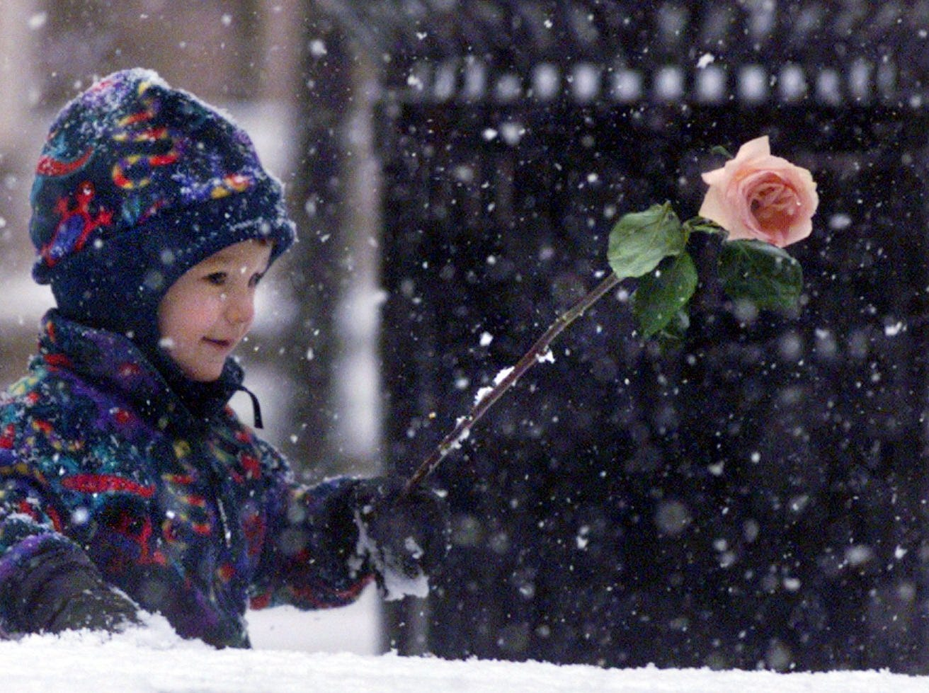 Sidney Lanier, 2, plays with a rose in the snow in downtown Greenville Saturday January 1, 2000.
