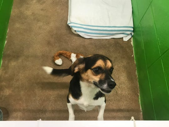 Buster, a 3-year-old beagle mix, is waiting for adoption at the Pickens County Humane Society.