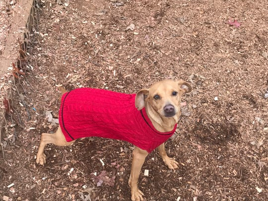 """Get this sweater off of me and take me home,"" this dog at the Pickens County Humane Society animal shelter seems to be saying."