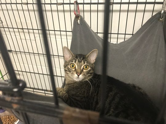 This tabby is available for adoption at the Pickens County Humane Society.
