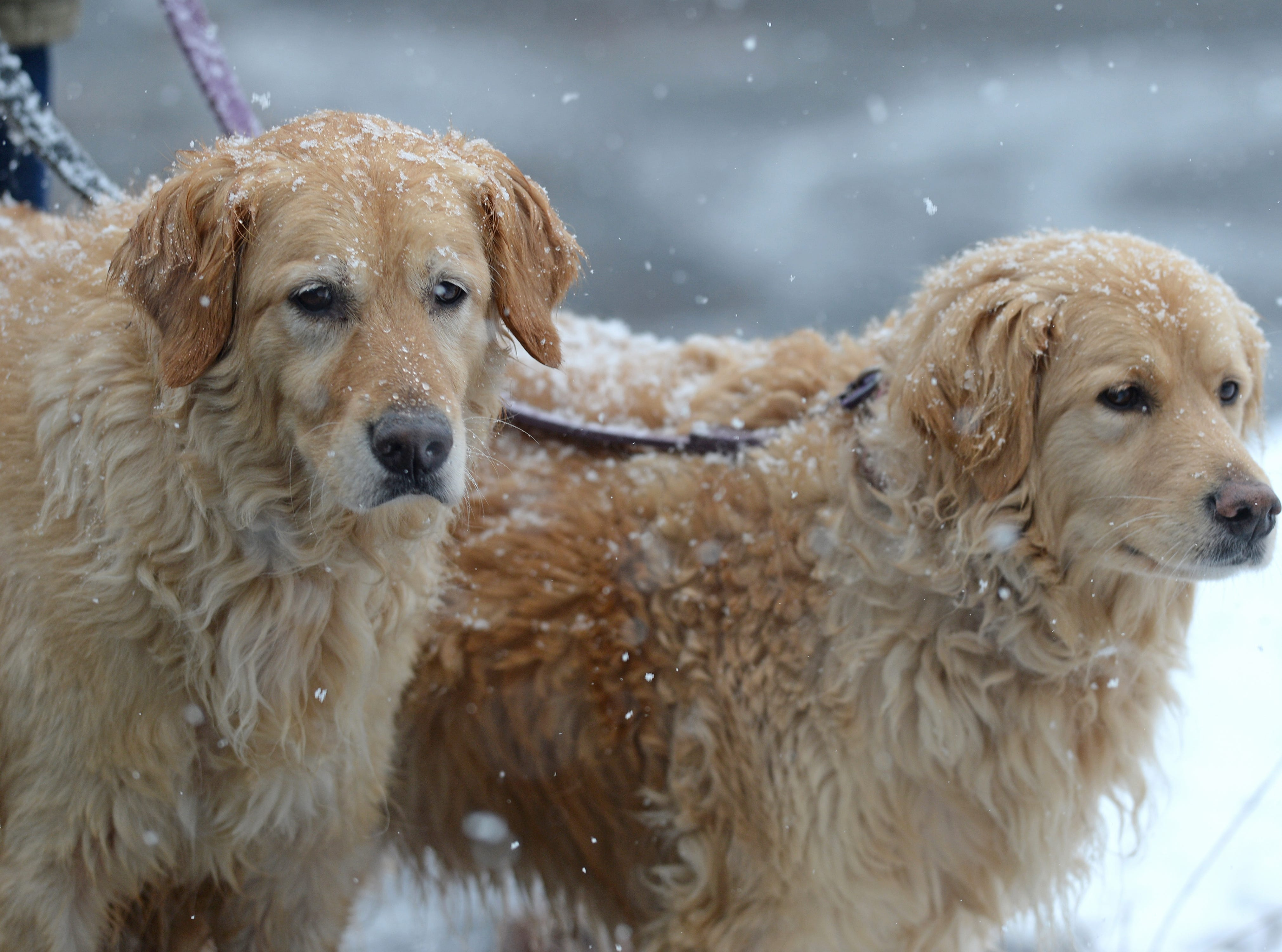 Jack Marshall walks his golden retrievers Hannah and Izzy during a morning snow fall in Belton Tuesday, February 11, 2014.