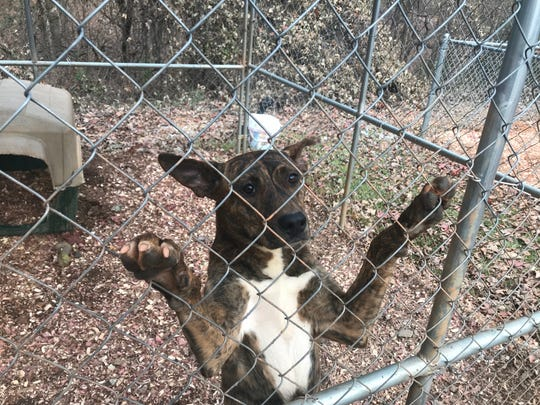 A dog awaiting adoption at the Pickens County Humane Society shelter near Liberty.