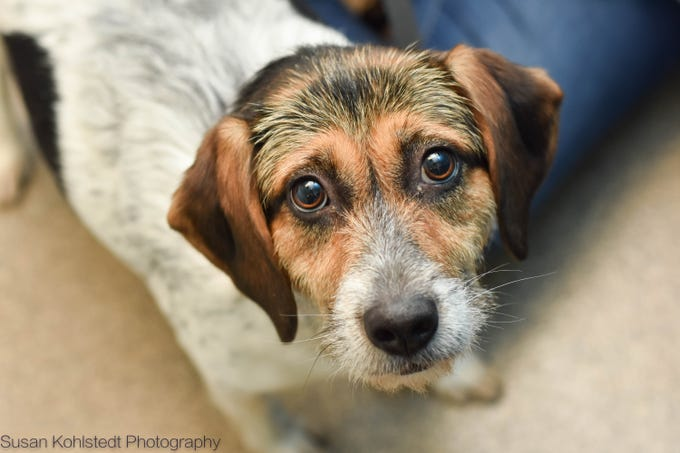 Freckles Dumpling, is a 1 year old super sweet Terrier mix hoping that you will fall in love with her just like we have! Meet Freckles Dumpling and all our adoptable animals at HumaneSocietyTennessee.org!