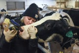 """""""Therapy cows"""" give students a reprieve from the stress as final exam week nears"""