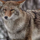 A coyote pack shatters a quiet evening in Fox Point and the ruckus is captured on video