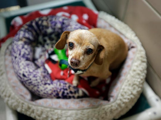 Buttercup, an elderly daushund chiwawa that surrived Hurricane Harvey was up for adoption at HAWS, Humane Animal Welfare Society of Waukesha County. Fostering animals is a great way to volunteer year-round.