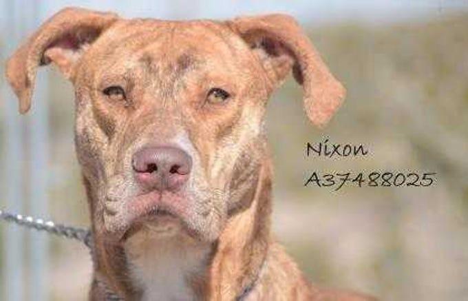 Nixon - Male (neutered) pitbull mix, adult. Intake date:12-27-2017