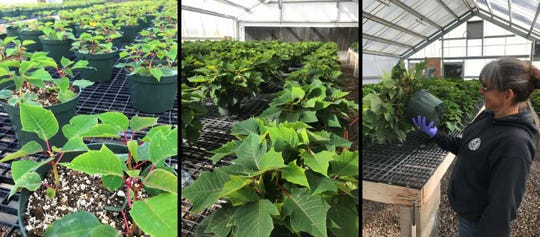 Poinsettias grow in city of Albuquerque Parks & Recreation greenhouses in August, left, and October, center.