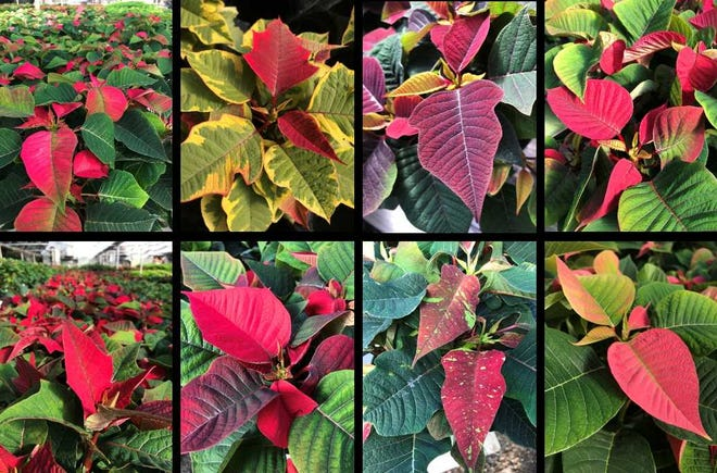 Like other plants, different cultivars of poinsettias are grown because they each offer slightly different qualities — think apples (granny smith vs. pink lady).