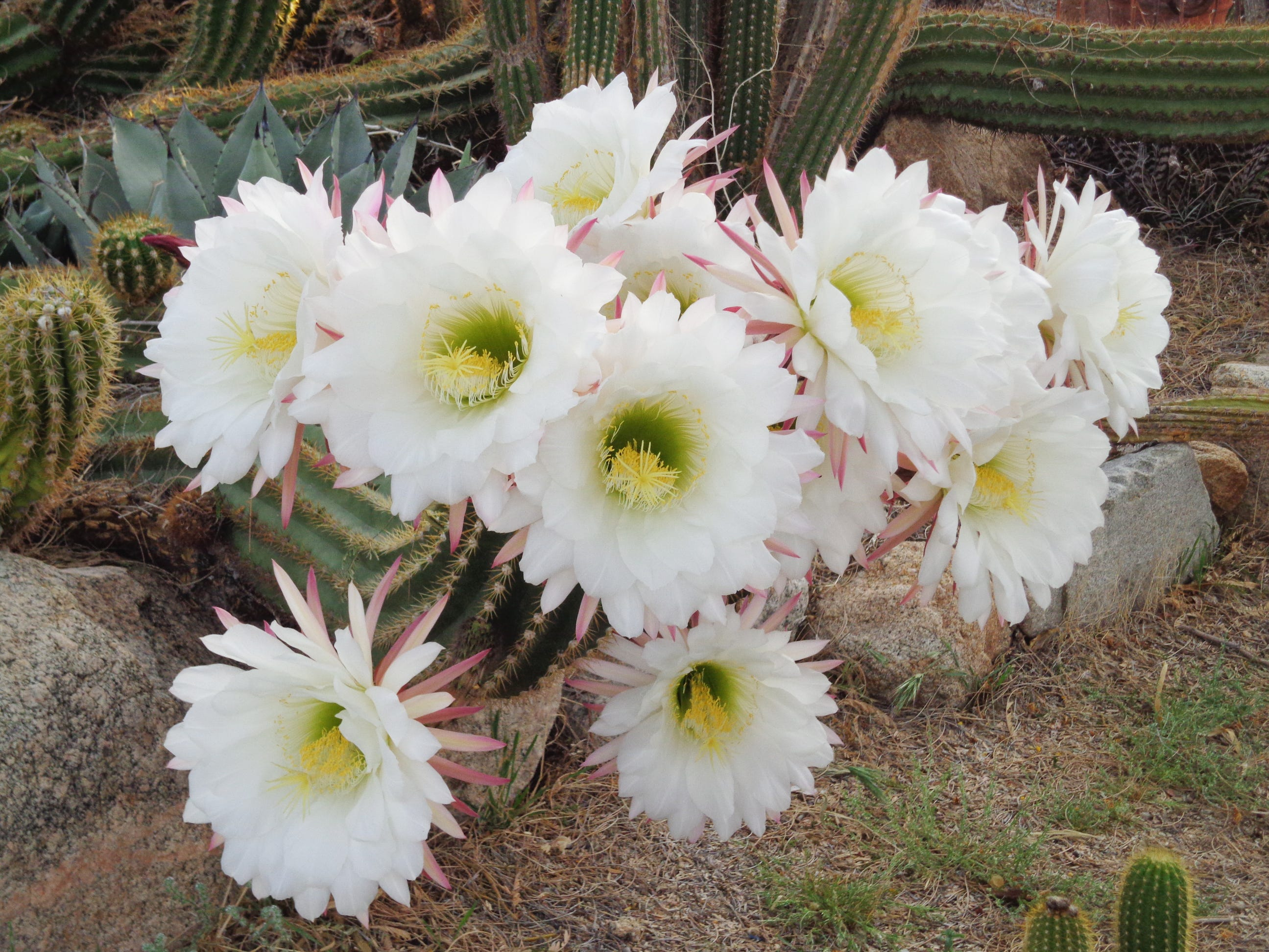 All these flowers are produced on a single stem of Echinopsis candicans.