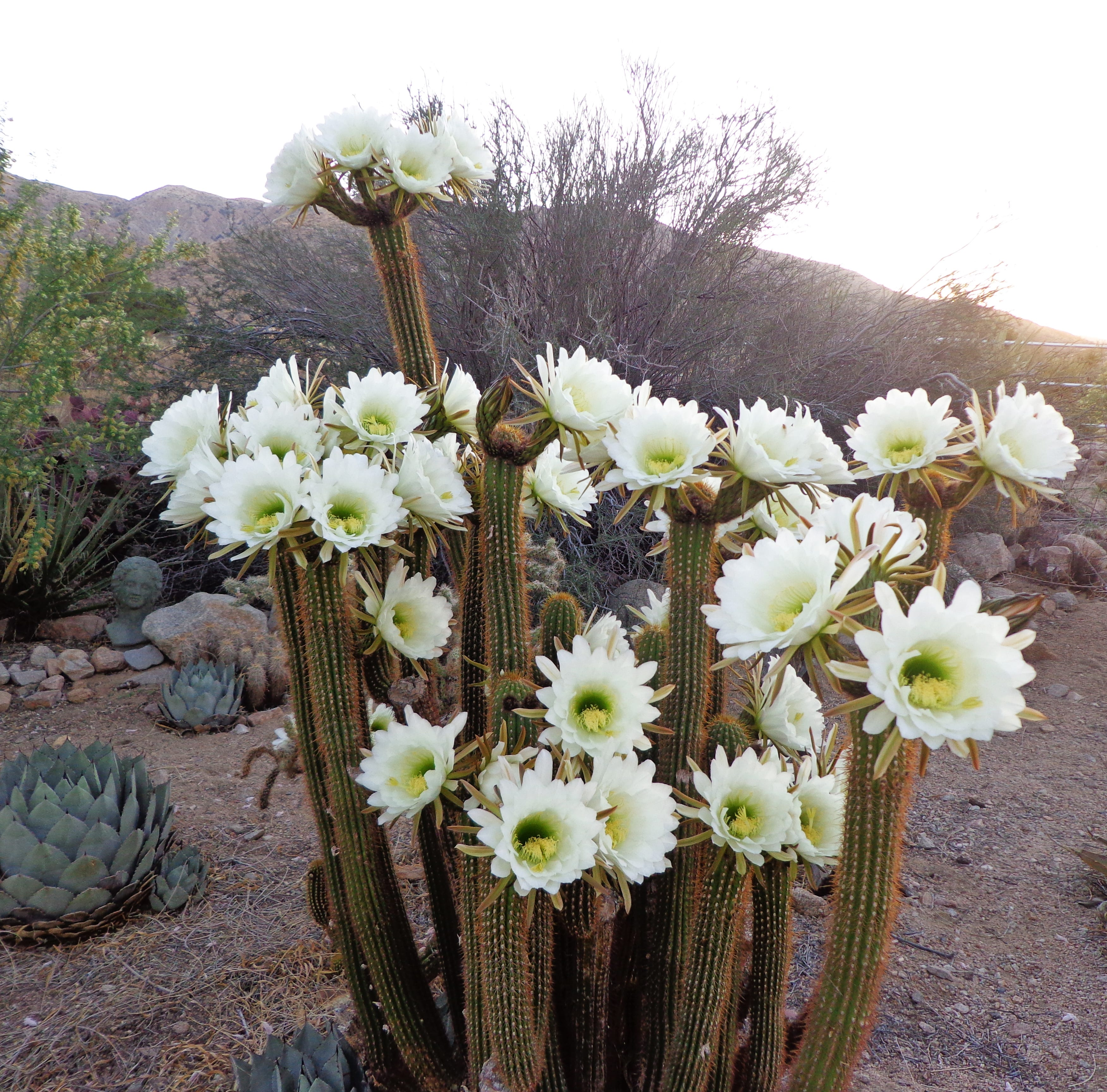 These cactuses bloom in the dead of night. Now's the time to start planting them
