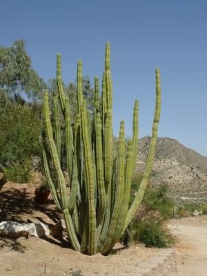 Echinopsis pachanoi is a large upright, nearly spineless cactus that produces the same white trumpets of E. candicans.