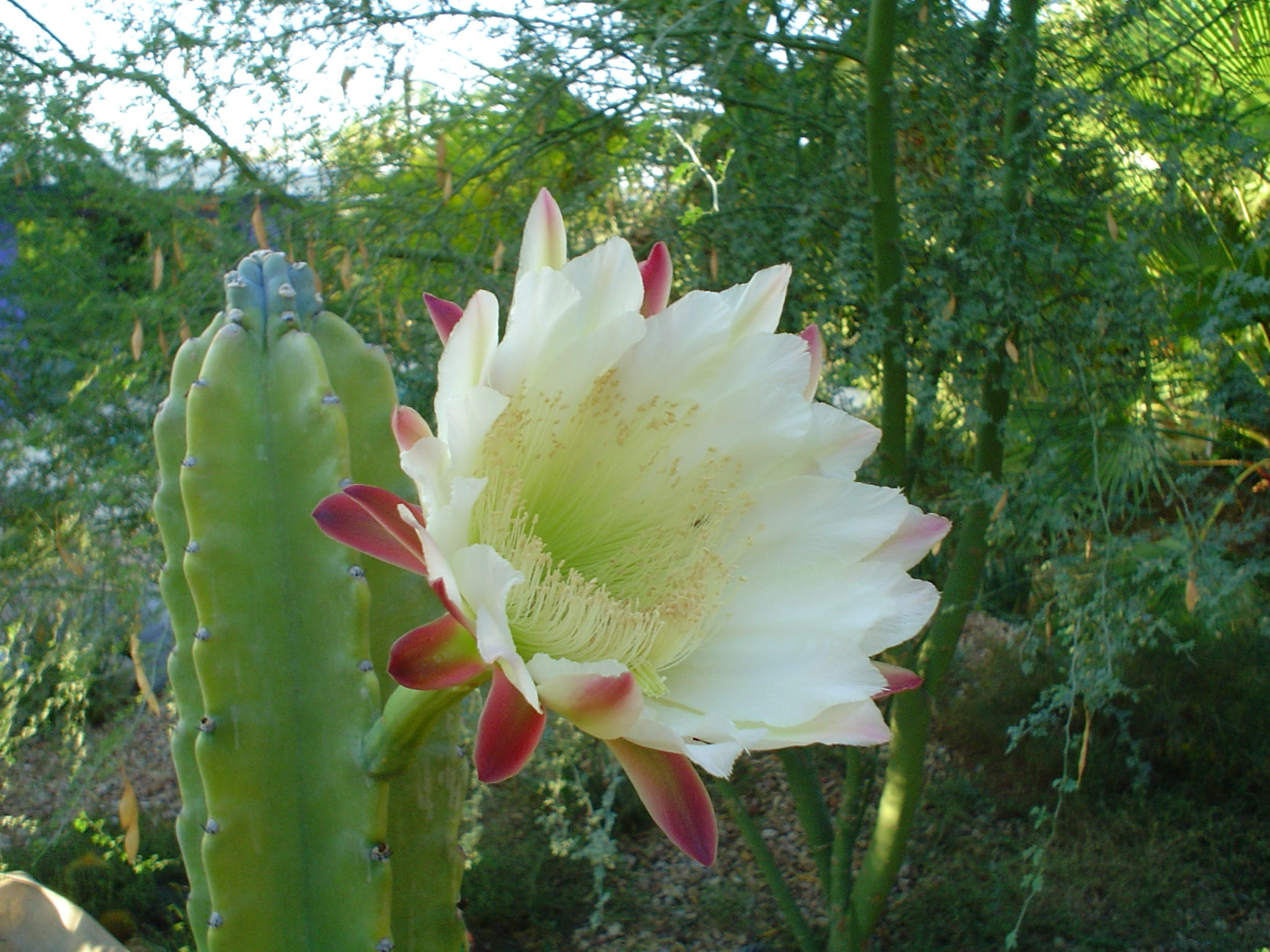 Apple cactus blossom in the early morning light.