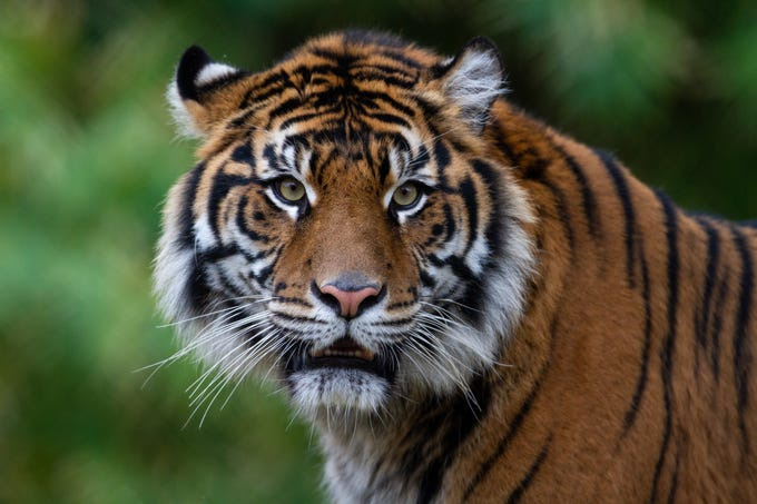 The Phoenix Zoo's New Sumatran tiger, Dari, is pictured in Phoenix on  Dec. 6, 2018.