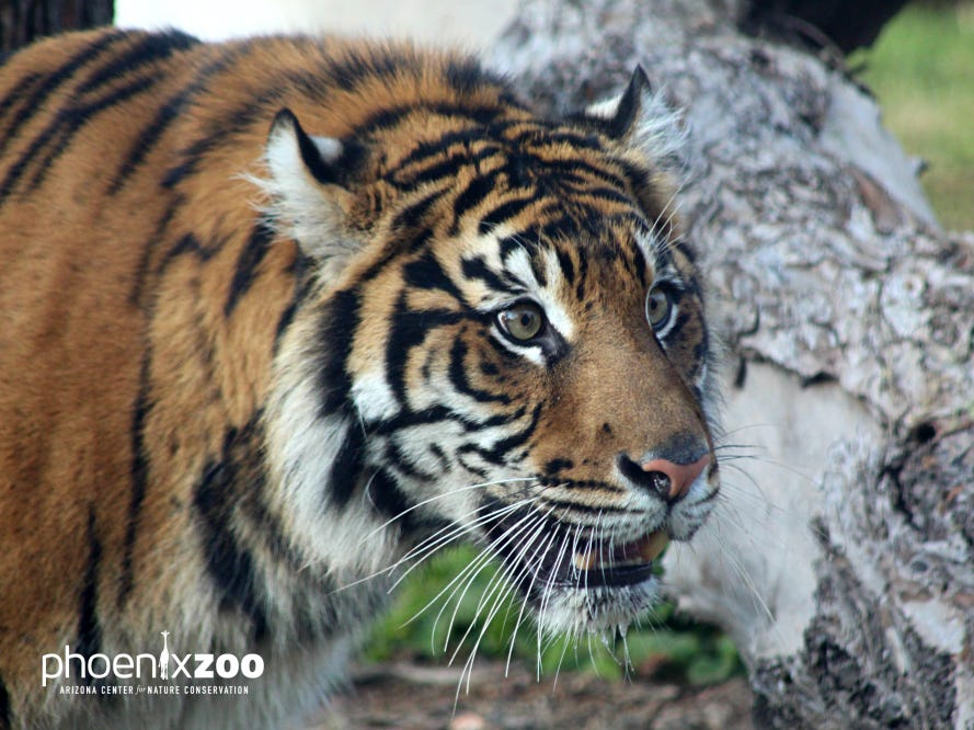 The Phoenix Zoo has received a new Sumatran tiger named Dari who will soon make her official debut.