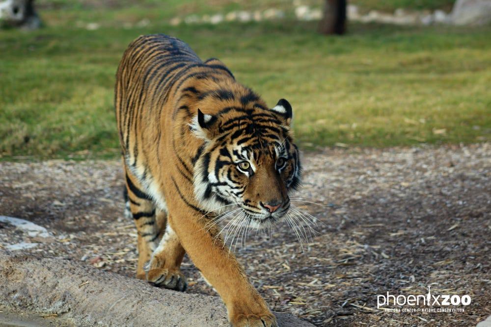 Phoenix Zoo's new Sumatran tiger, Dari, to make official debut Friday