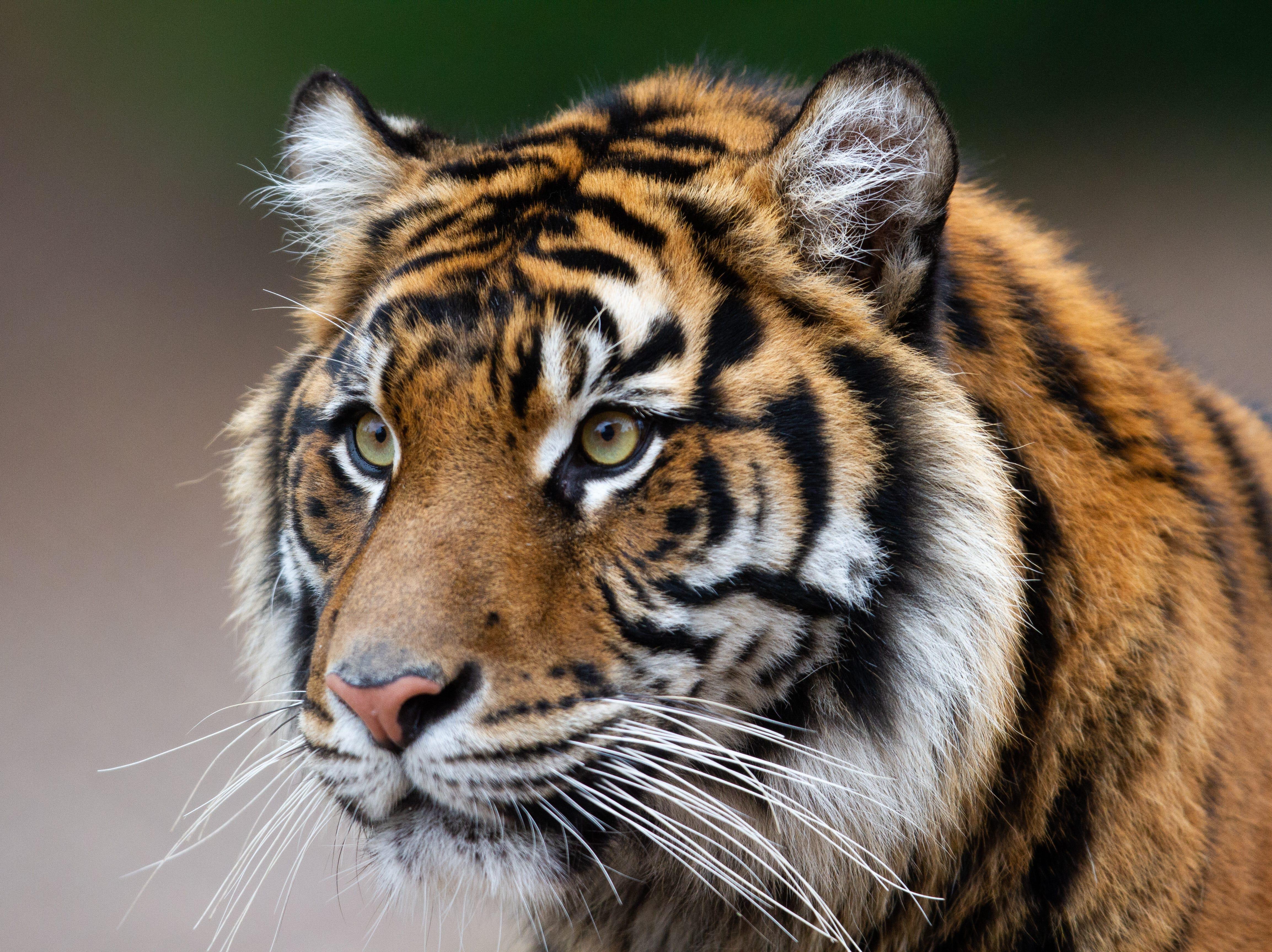 Phoenix Zoo's new Sumatran tiger, Dari, makes official debut