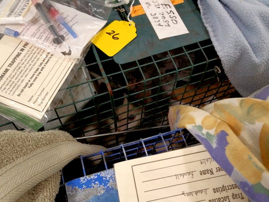 A cat peers out of a cage during a trap-neuter-return event held by CI Community Cats in November 2018 in Chincoteague, Virginia.