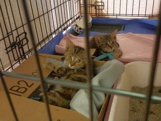 Two kittens peer out of a cage during a trap-neuter-return event held by CI Community Cats in November 2018 in Chincoteague, Virginia.