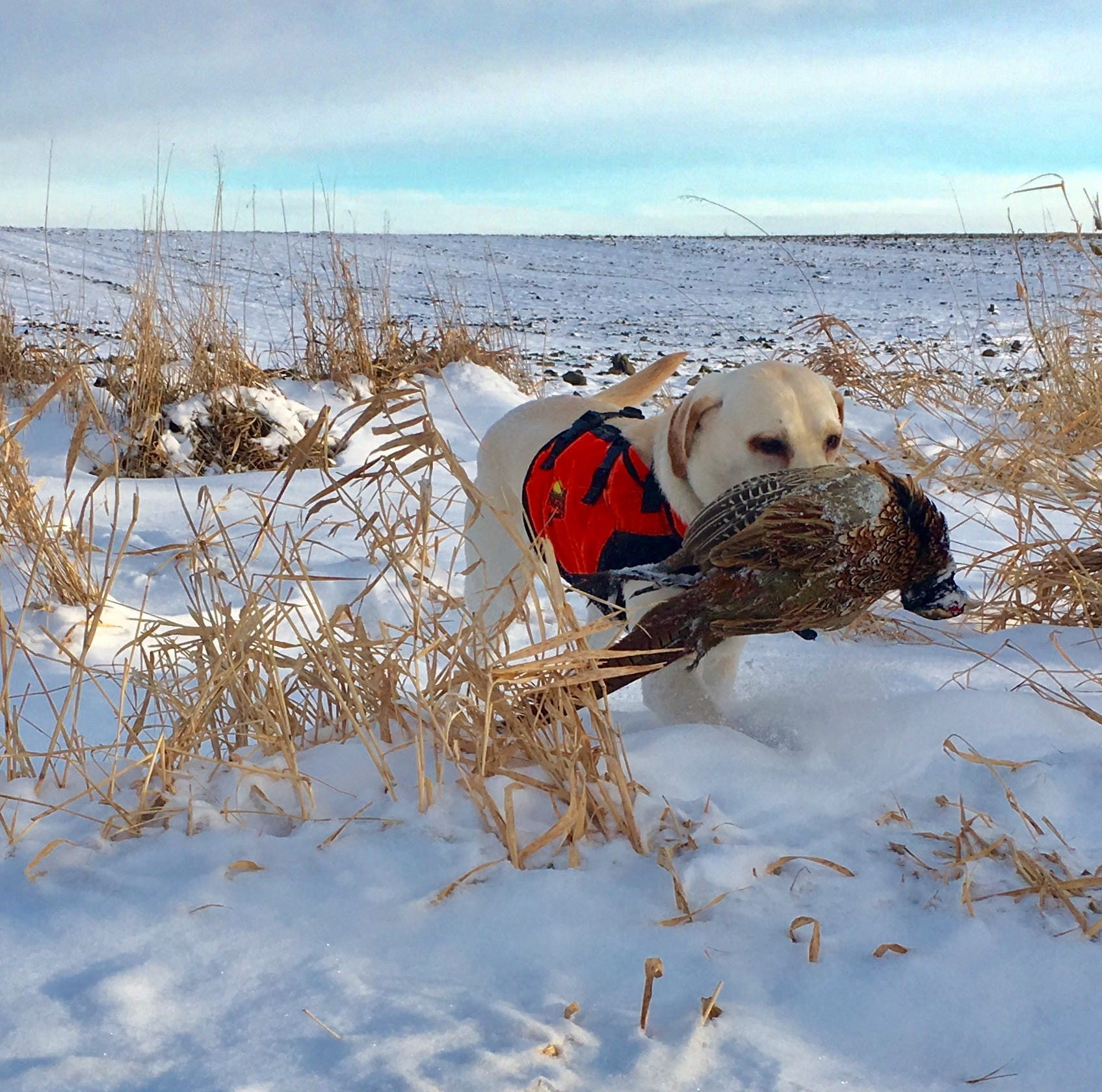 Pollmann: Finding pheasants is a good way to beat the cold