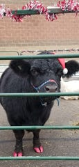 Mervin the steer sporting his painted hooves for the holidays. Joah's Ark owner Jo Olson loves to dress up her animals during the month of December.