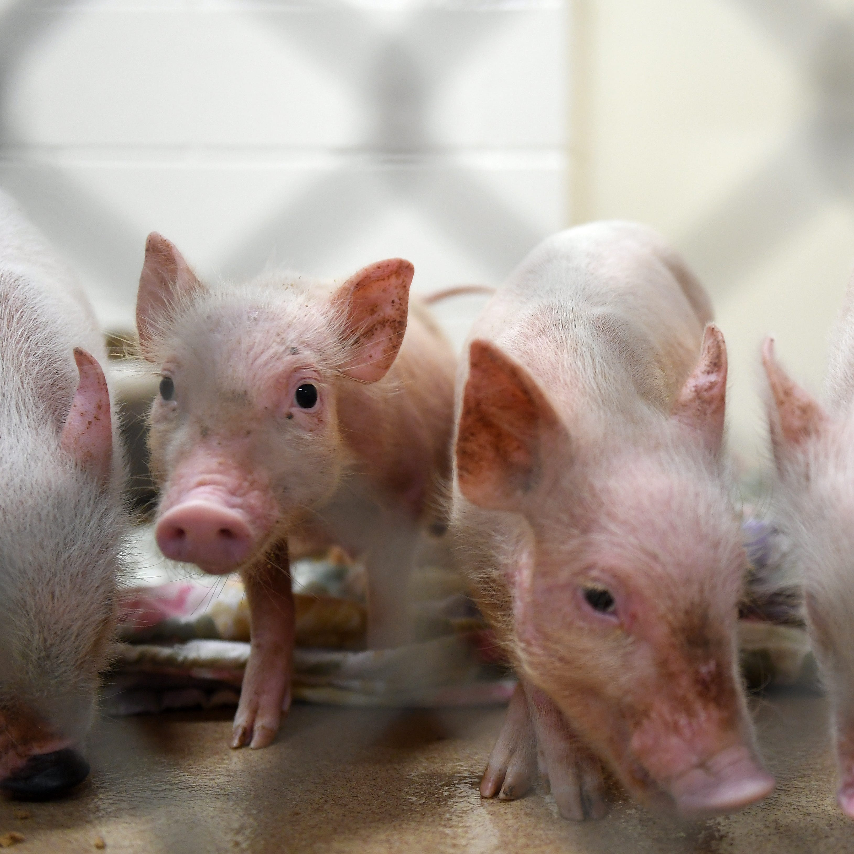 Pig problem: Rise in barnyard-turned-backyard critters a handful for Humane Society