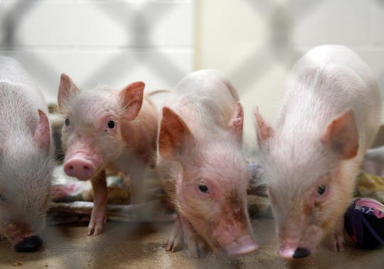 As the public continues to broaden their horizons on what kinds of animals to keep as pets, the population of local animal shelters has also become diverse. The Humane Society of the Treasure Coast currently has six pigs in its care, one of which is 300 pounds.