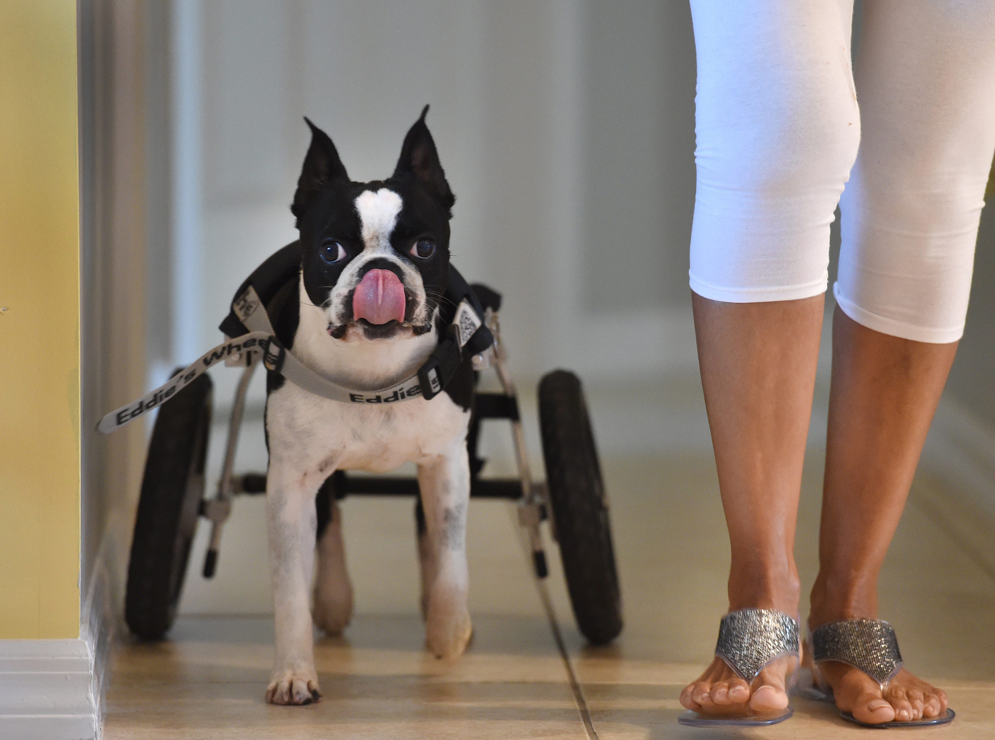 """Elvis, a four-year-old Boston Terrier, finishes of a treat while walking with his foster parent. Sylvia Oransky, a volunteer pet fosterer for H.A.L.O. No-Kill Rescue, as they move along the hallway of Oransky's home on Sunday, Sept. 16, 2018, in Sebastian. """"It's important, because if you look at these (TV) commercials and you know these stories about the horrible treatment a lot of these animals go through, you feel like you're being a part of doing the right thing, and you're helping not only shelters but your community, plus another life,"""" Oransky said. """"Although it's a dog, a cat, whatever type, a bird, it's still important, it's a life, and that's what the world should be about, helping each other."""""""